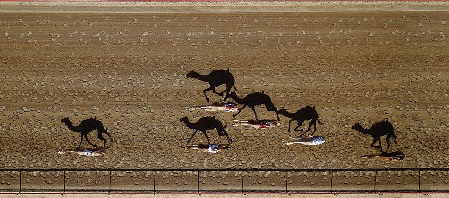 Al Marmoum Camel Race Dubai