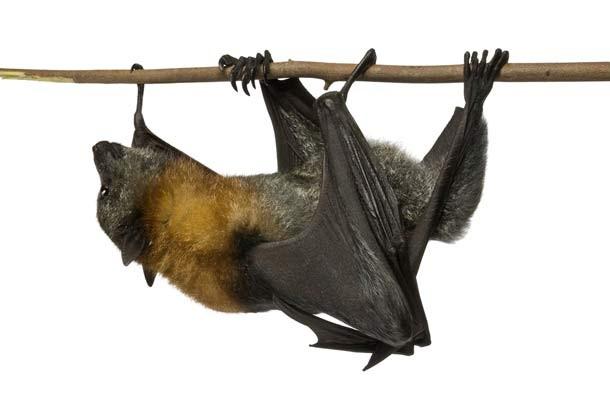 bat_animals