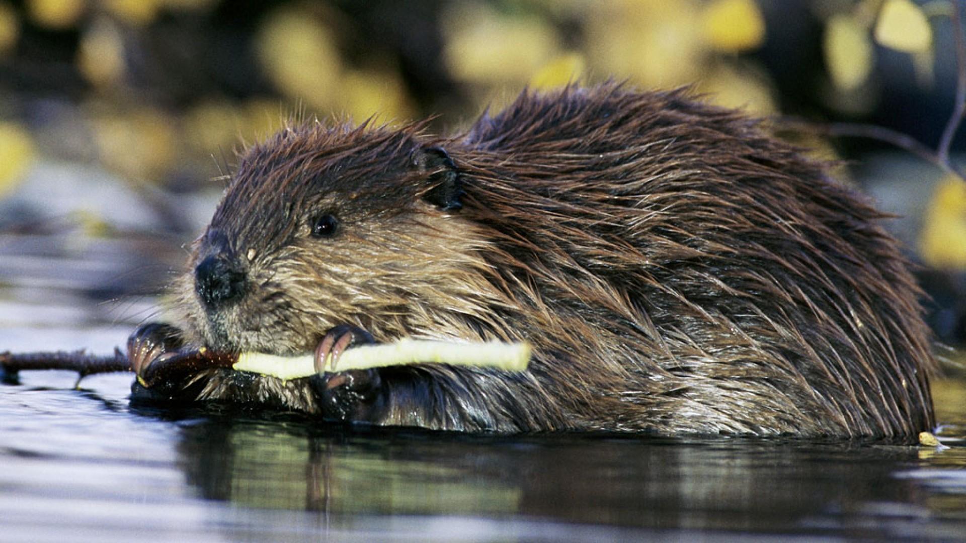 beaver_animals