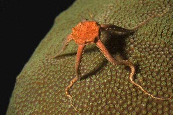 brittle-star_aquatic-animals