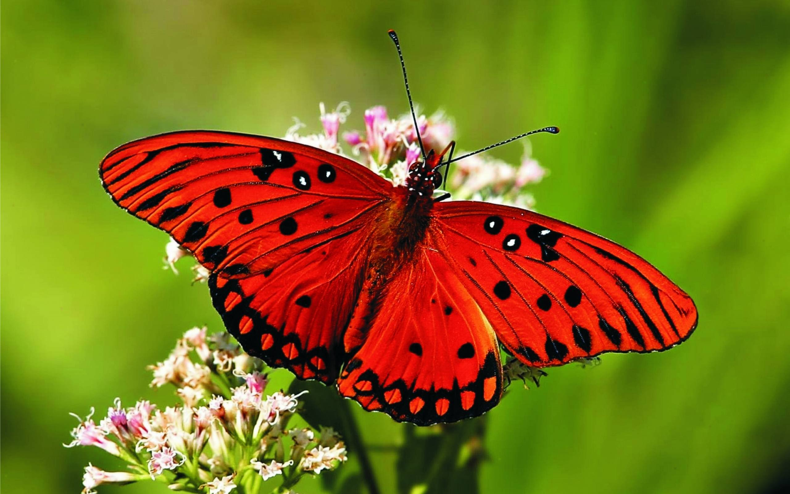 butterfly_animals