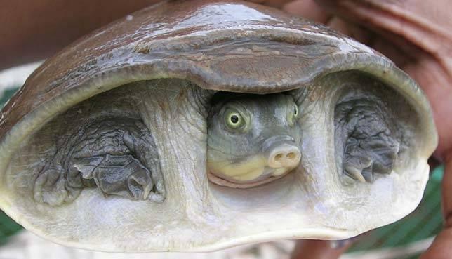 cantors-giant-soft-shelled-turtle_aquatic-animals