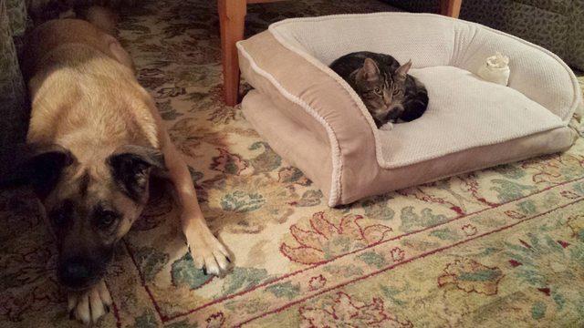 cats-bullying-dogs_v2