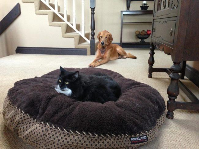 cats-bullying-dogs_v22