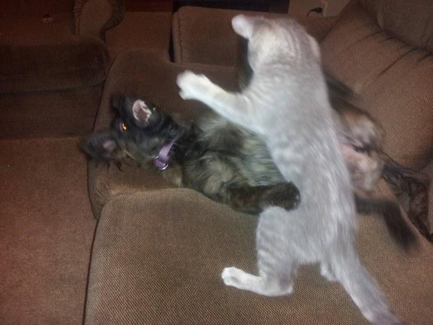 cats-bullying-dogs_v24