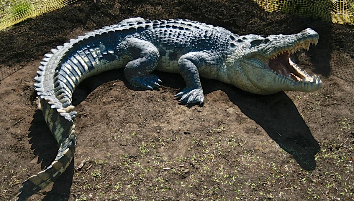 crocodile_animals
