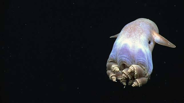 dumbo-octopus_aquatic-animals
