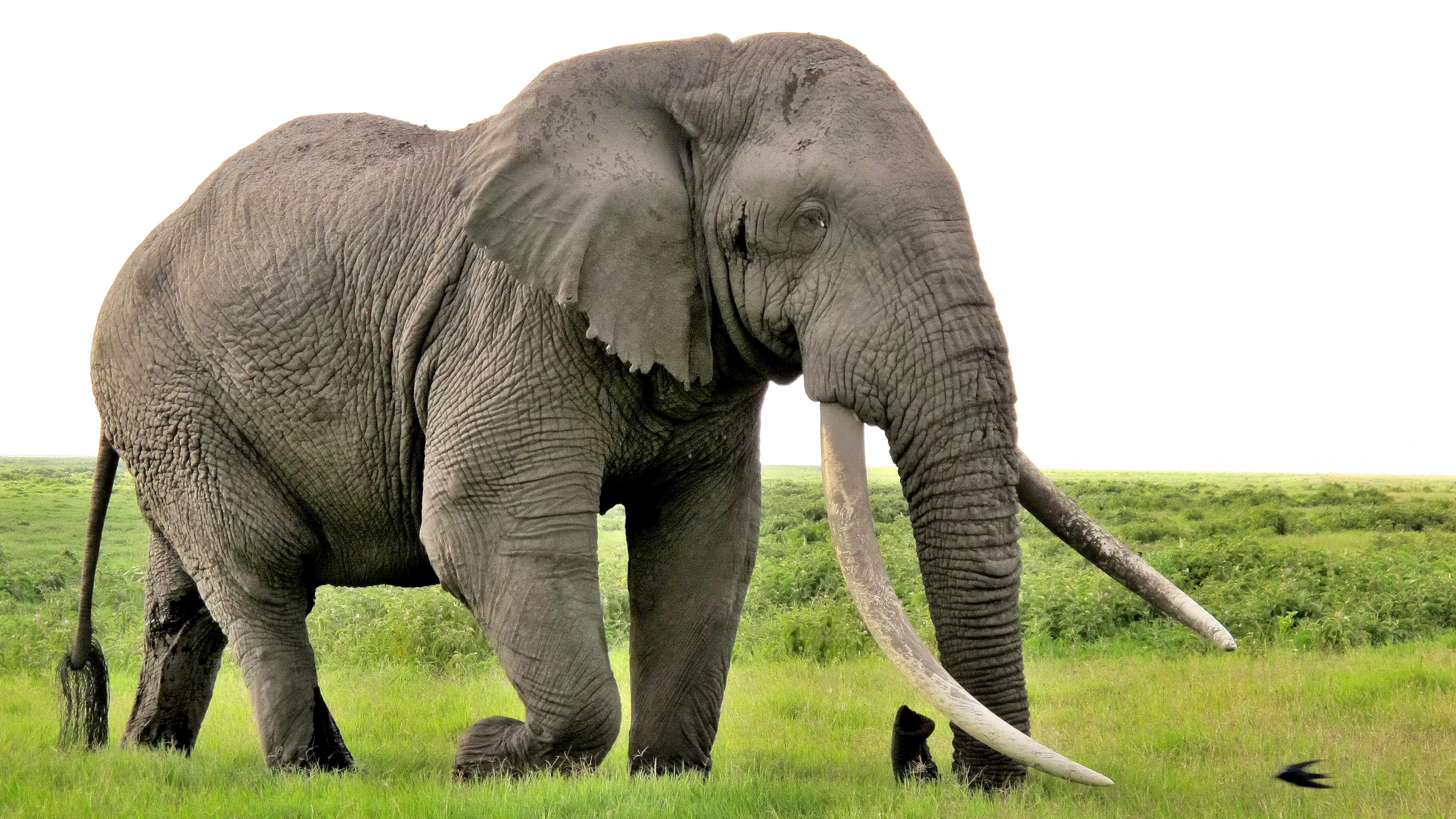 elephant_animals