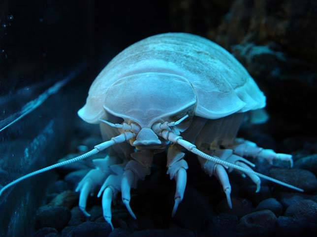 giant-isopod_aquatic-animals