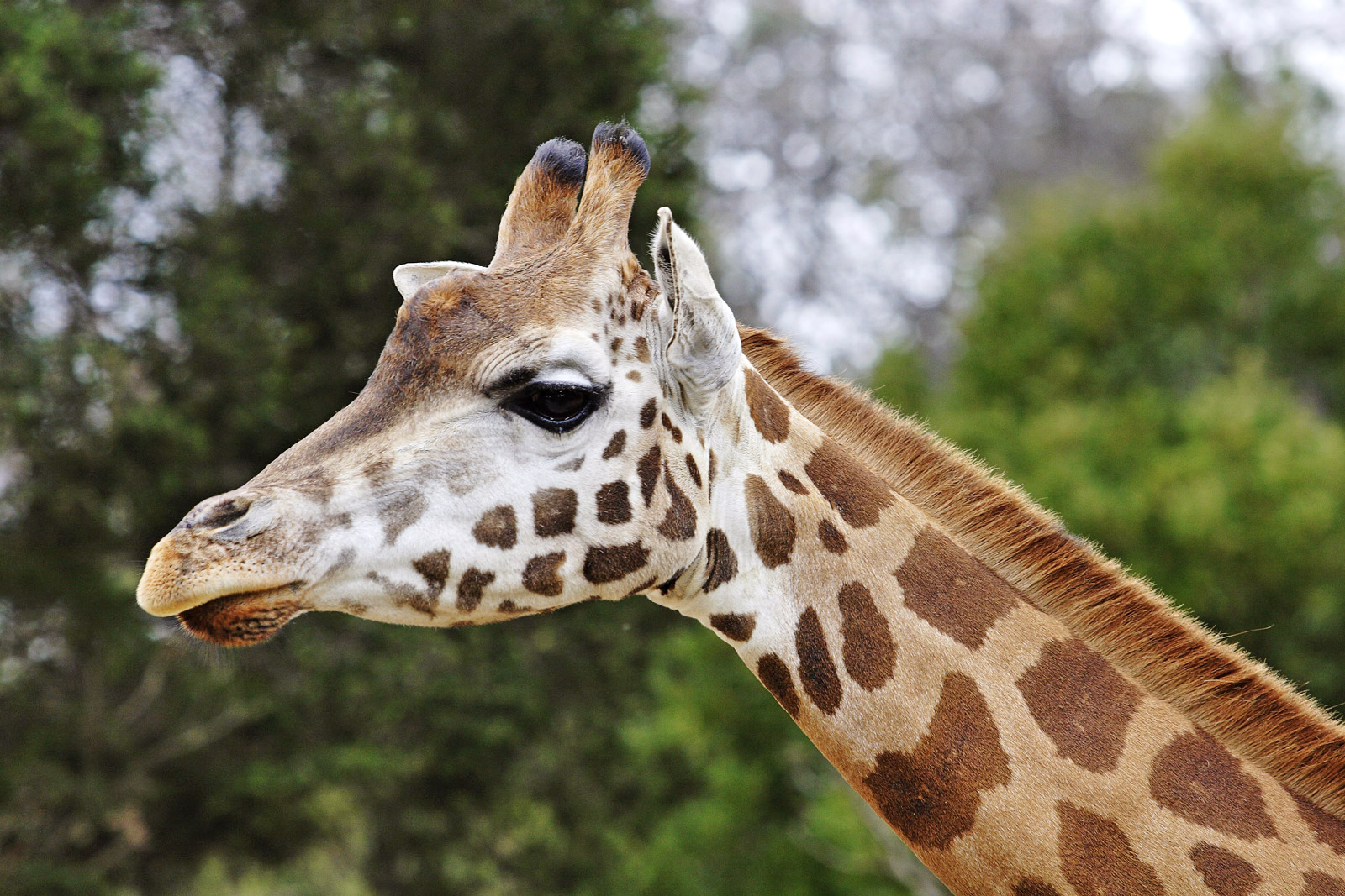 giraffe_animals