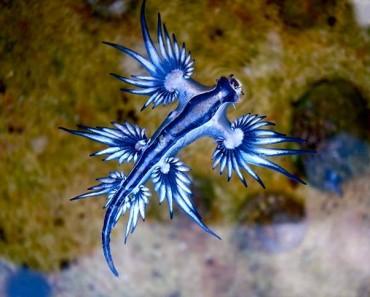 glaucus-atlanticus_aquatic-animals