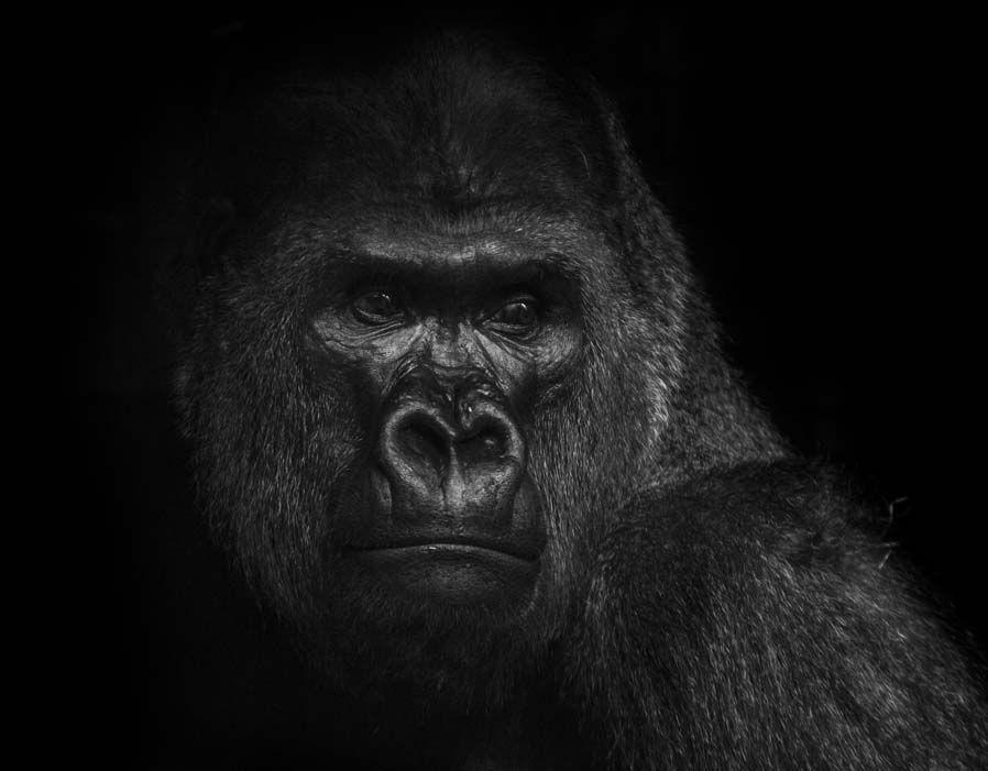 gorillas_animal