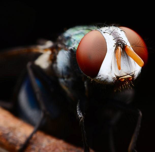 housefly_animals