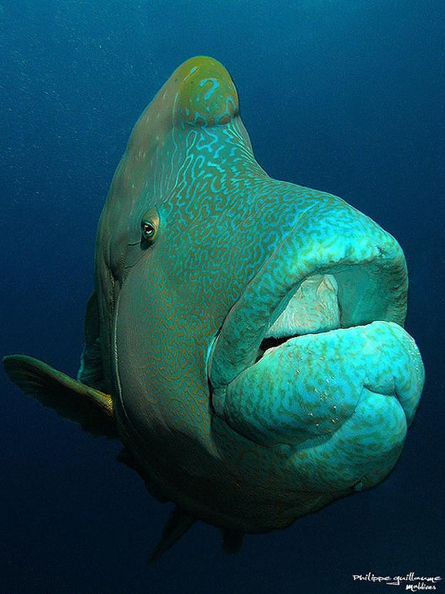 humphead-wrasse_aquatic-animals