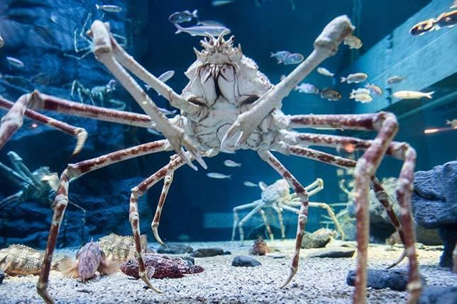 japanese-spider-crab_aquatic-animals