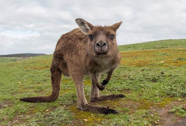 kangaroo_animals