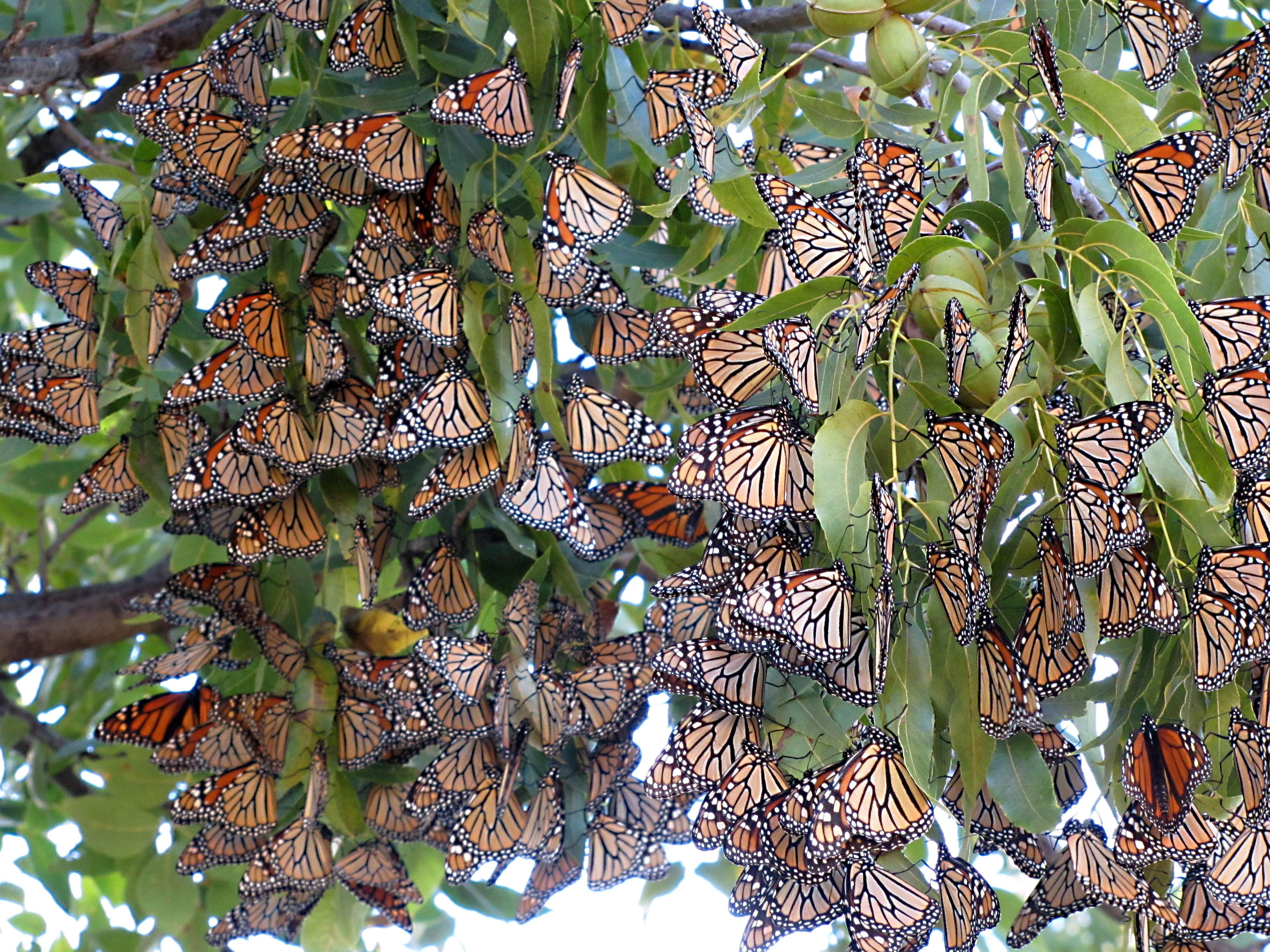 migration-of-monarch-butterfly_-natural-phenomena