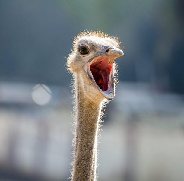 ostrich_animals