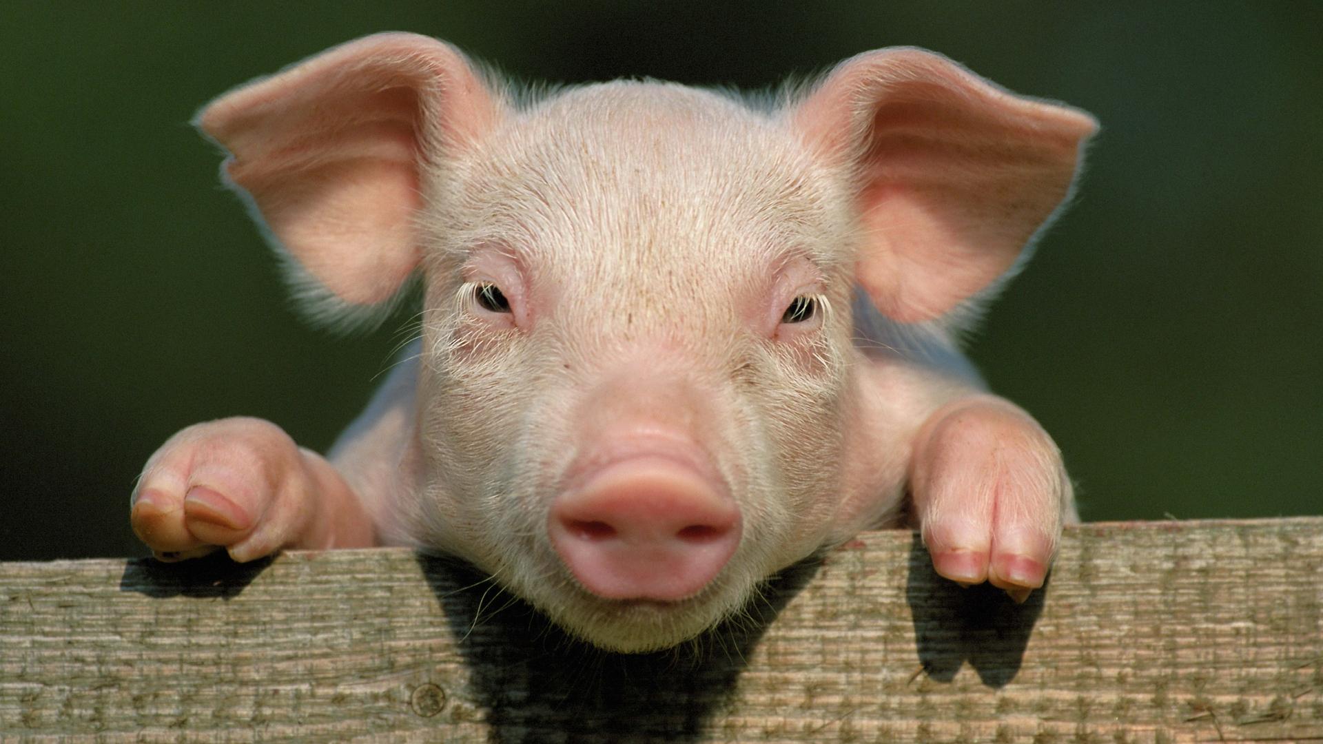 pig_animals