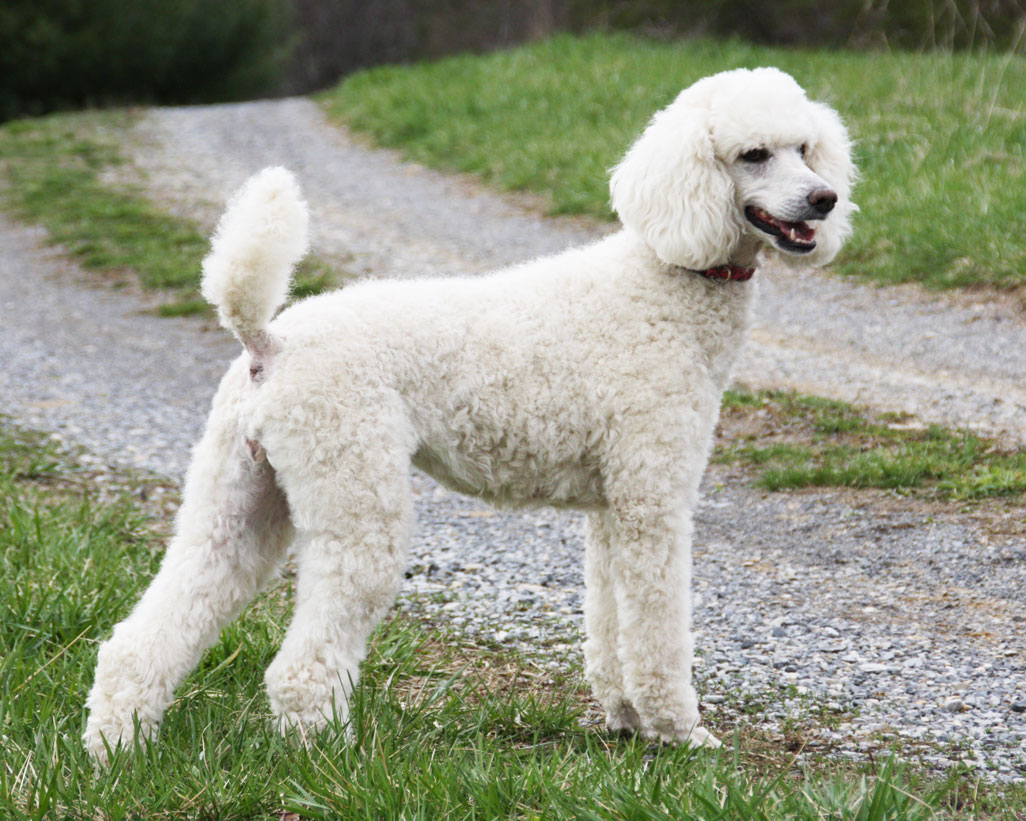 poodle_animals