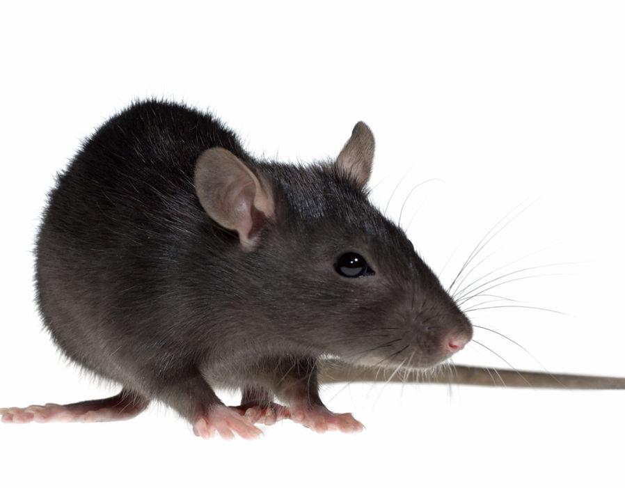 rats_animal
