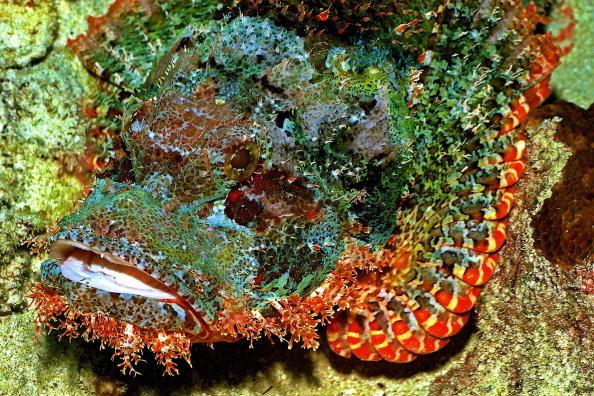 scorpionfish_aquatic-animals