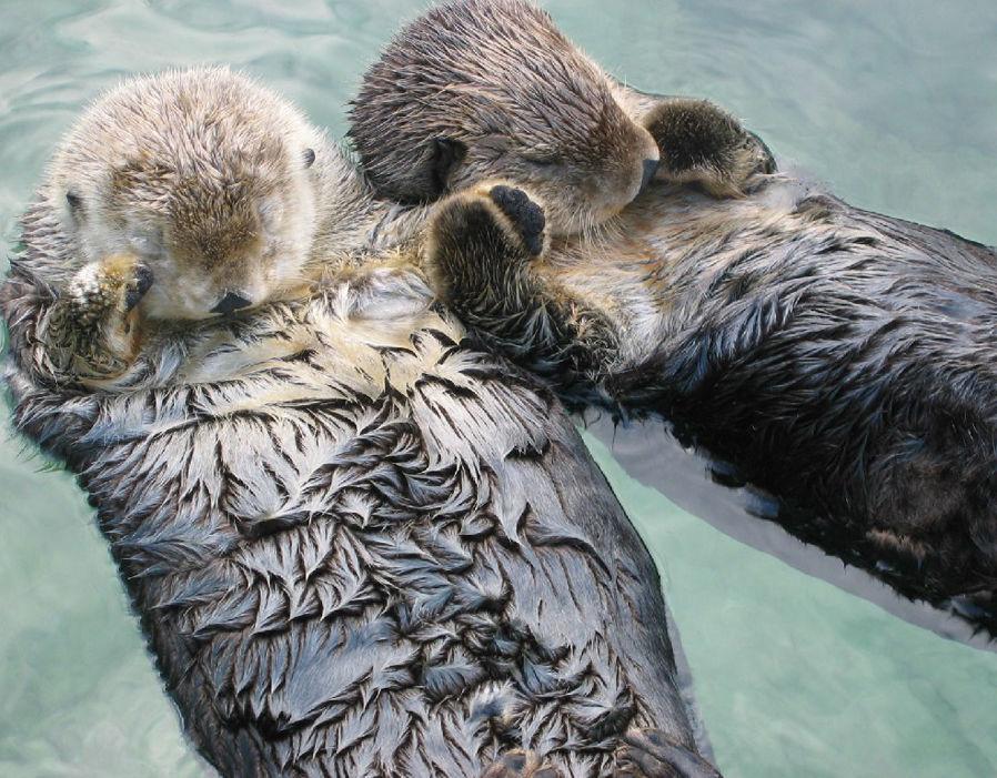 sea-otters_animal