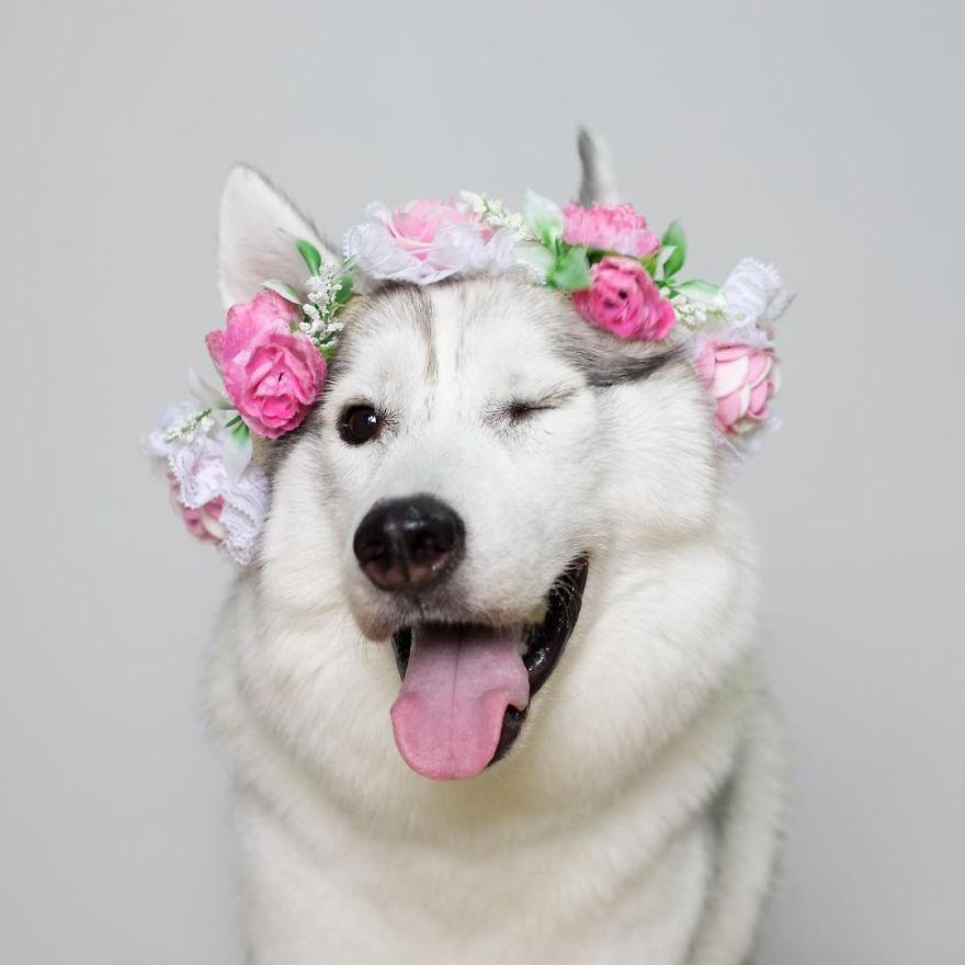 siberian-puppy-maya_v1