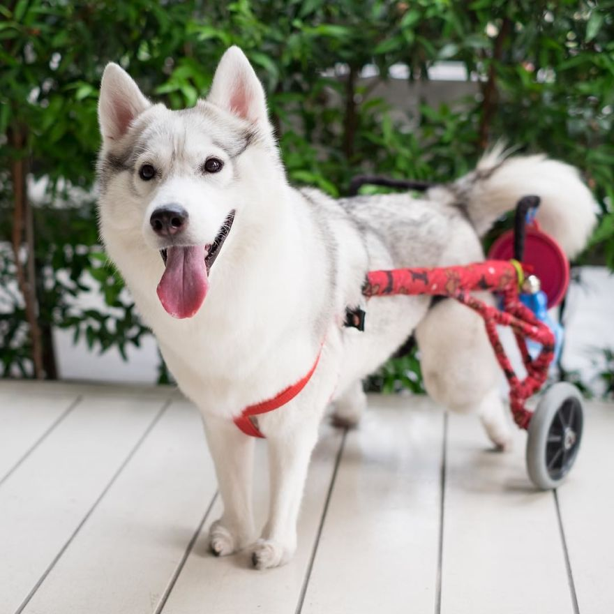 siberian-puppy-maya_v2
