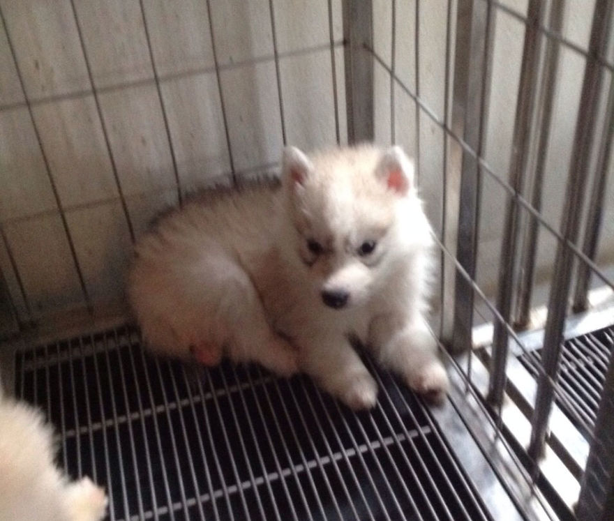 siberian-puppy-maya_v4