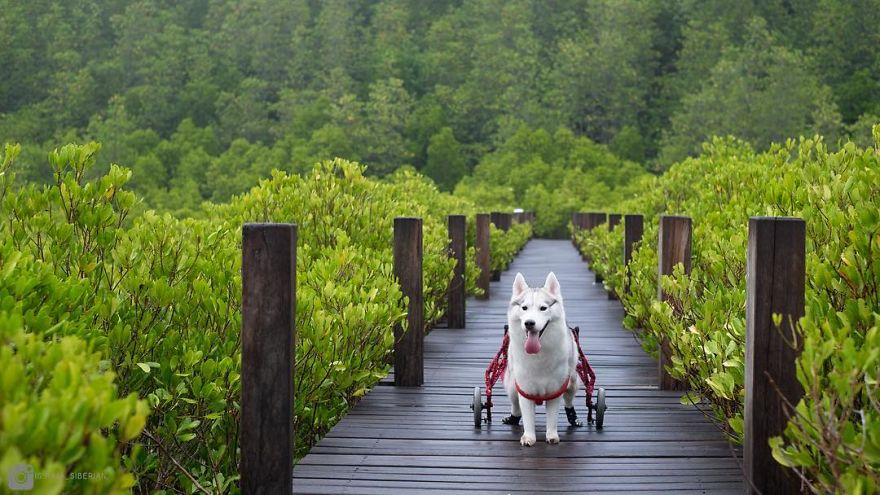 Catch Happy Moments Of This Siberian Husky Puppy Born Without Paws On Wheelchair