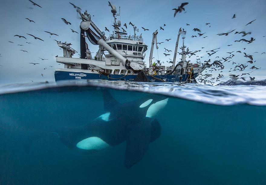 splitting-the-catch-by-audun-rikardsen_wildlife-photography