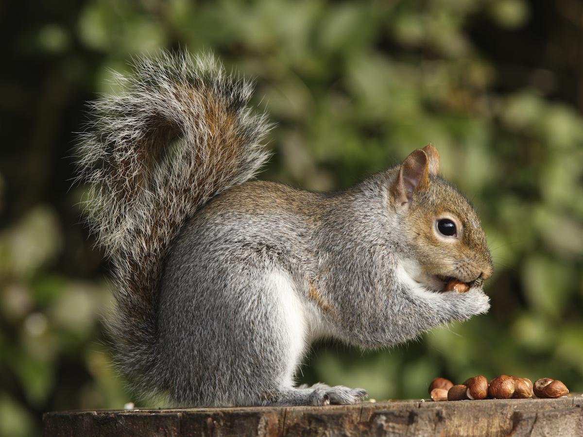 squirrel_animals