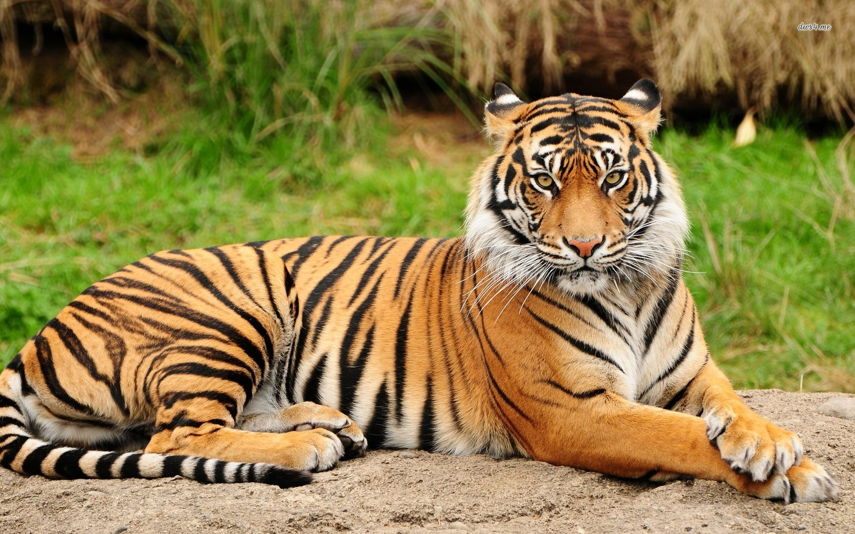 tiger_animals