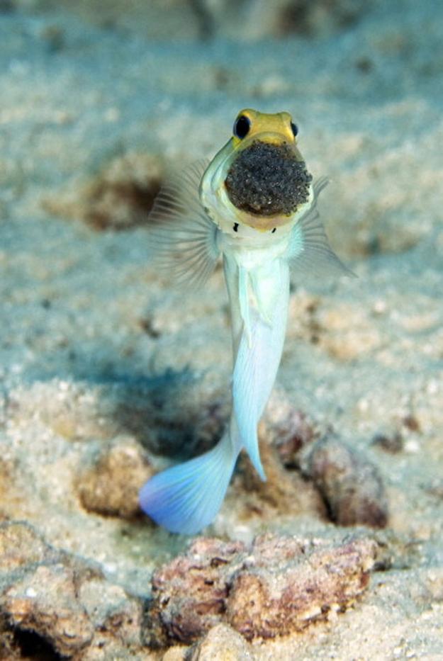 yellowhead-jawfish_aquatic-animals