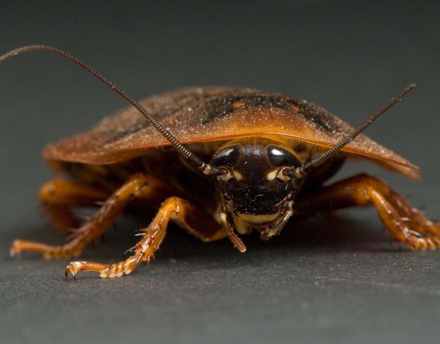 cockroach_animals