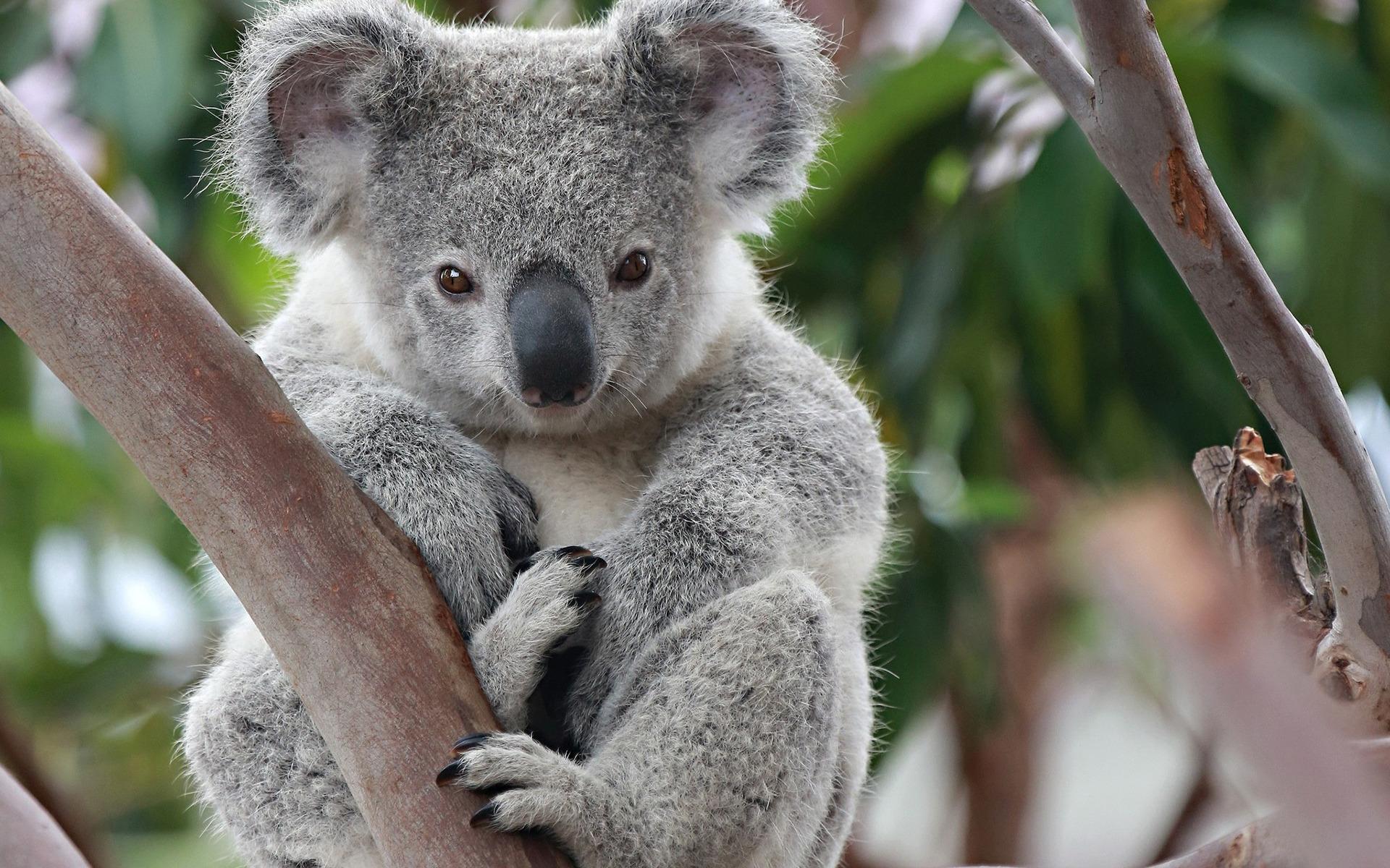 koala_animals