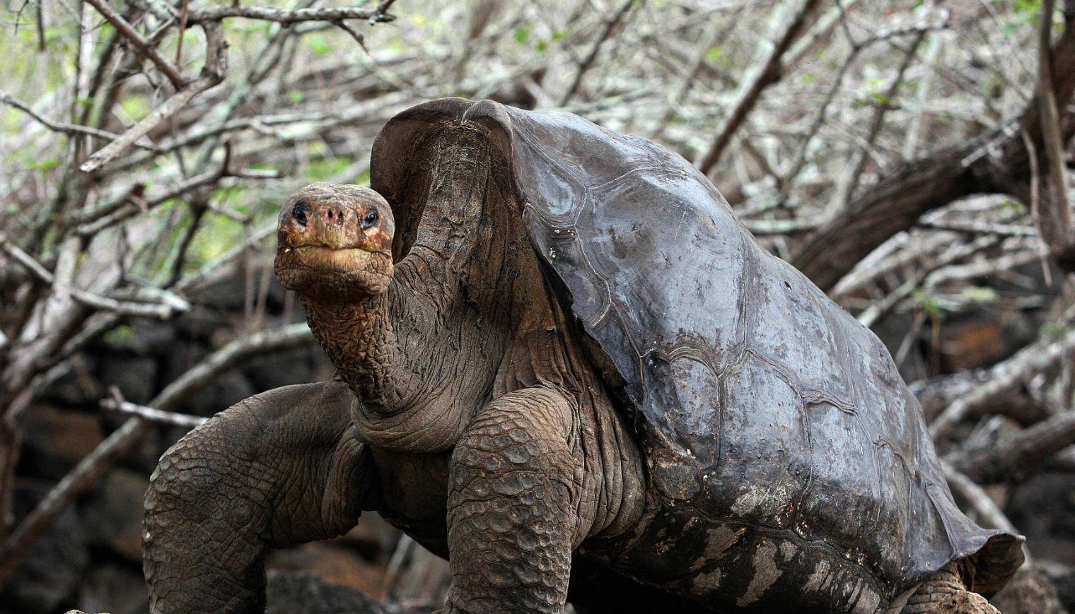 tortoise-sex_v1