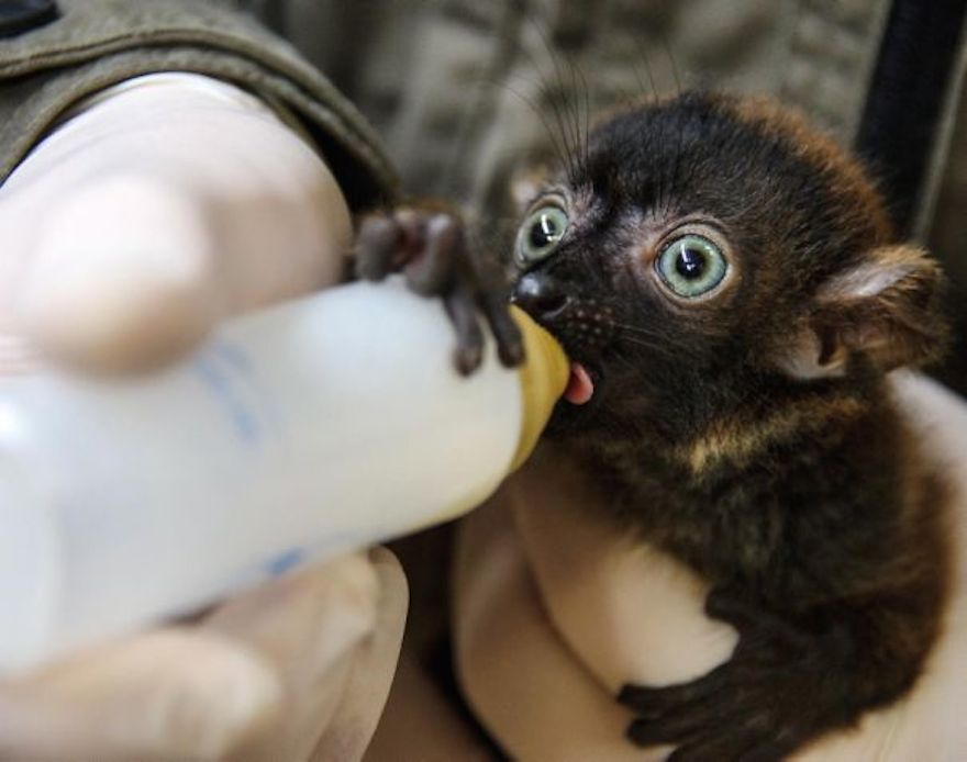 baby-black-lemur_cute-animals
