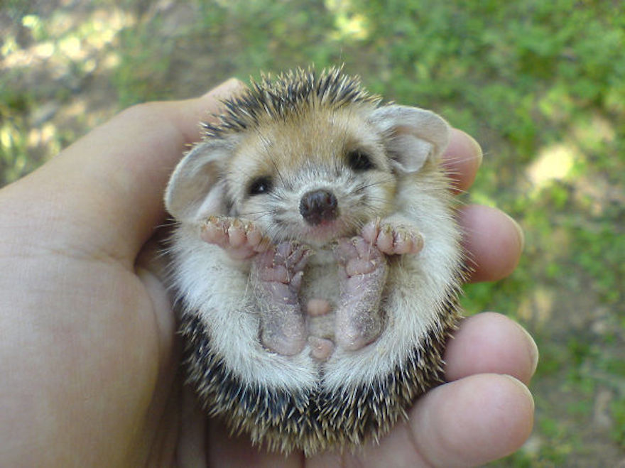 baby-hedgehog_cute-animals