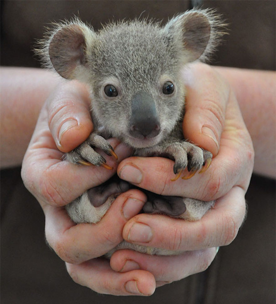baby-koala_cute-animals