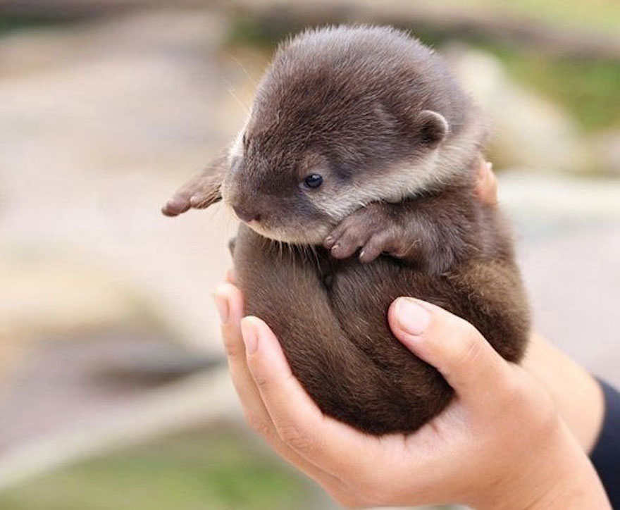 baby-otter_cute-animals