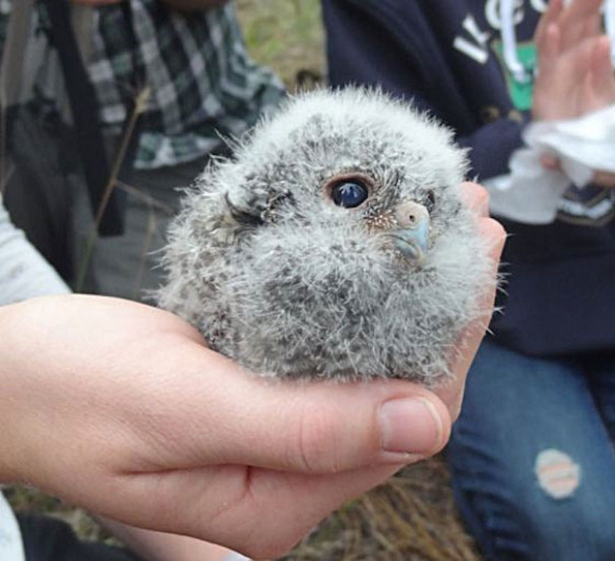 baby-owl_cute-animals