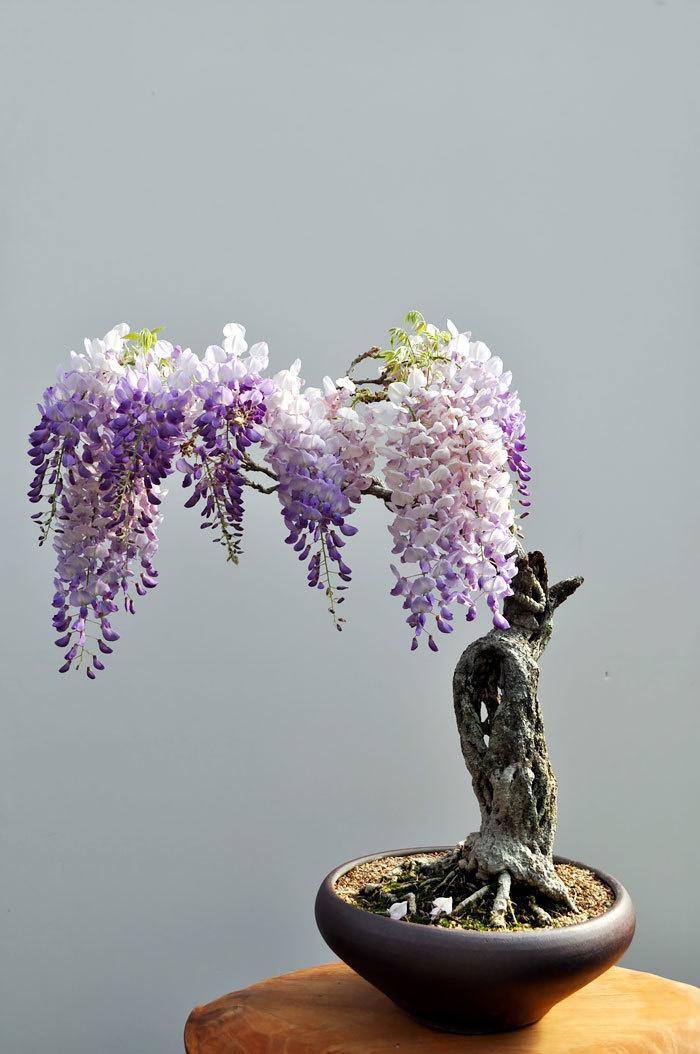 bonsai-trees_v10