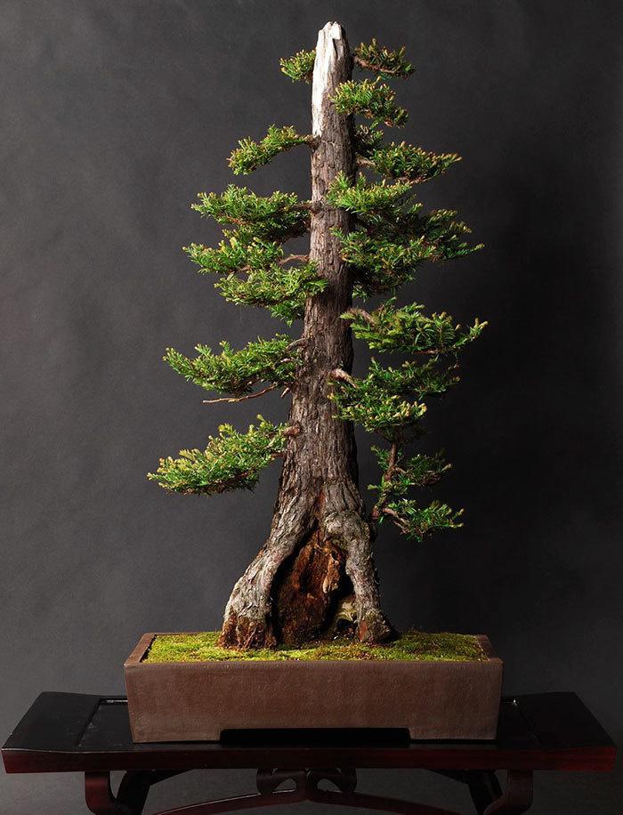 bonsai-trees_v11