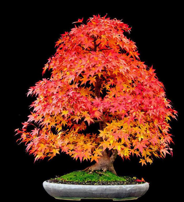 bonsai-trees_v13