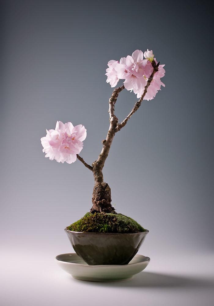 bonsai-trees_v2