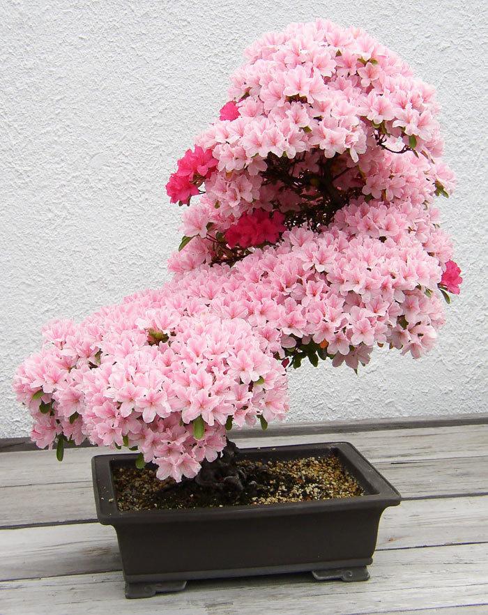 bonsai-trees_v6