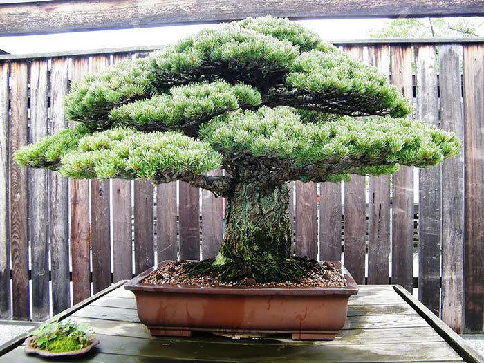 bonsai-trees_v7