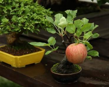 bonsai-trees_v8
